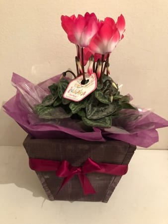 Mini Cyclamen In Wooden Box Flowers Delivery Melbourne