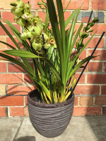 Cymbidium Orchid Plant with Glazed Pot