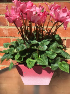 Potted Flowering Cyclamen in a wooden box.Mothers day Favourite.