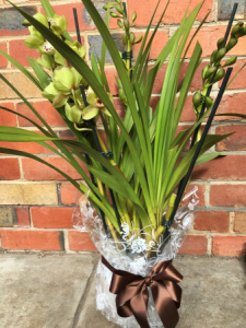 Cymbidium Orchid Plant.Gift Wrapped. Melbourne Flower Delivery