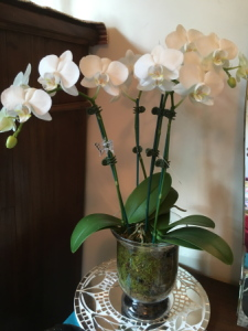 Phalaenopsis Orchid Plant in vase/pot.Mothers Day Gift .