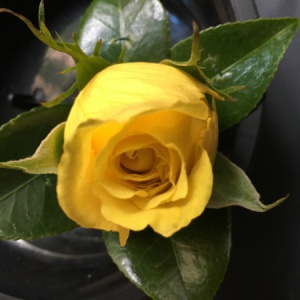 Melbourne Cup-Yellow Rose Buttonhole-Flemington Races